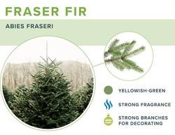 Fraser Fir 7'-8' image
