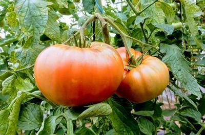 Tomate ecológico (kg) image