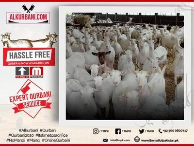 Standard Qurbani Goat / Bakra / Sheep / Bakri  image