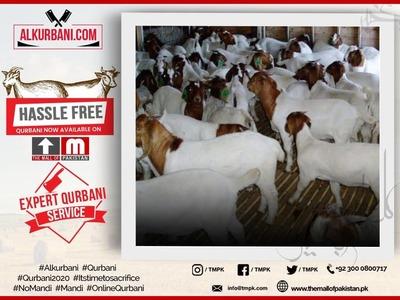 Premium Qurbani Goat / Bakra  image