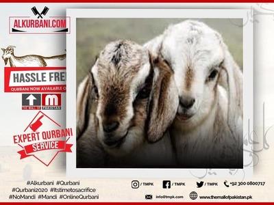 Premium Goat / Bakra Jori  image