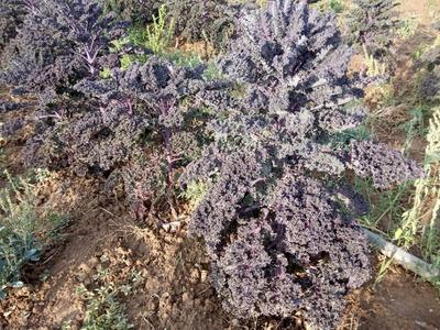 Kale rojo ecológico (300-500 gr) image