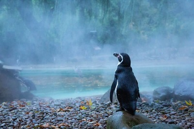Penguin in the mist, Zoological Society of London image