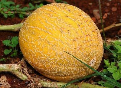 Cantaloup Grosseur 15 (unité) image