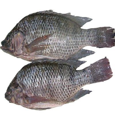 Fresh Tilapia fish Size 4, per KG image