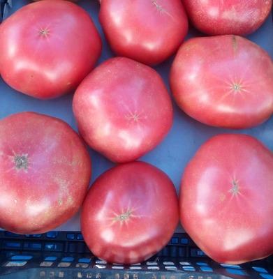 Tomate rosa ecológico (kg) image