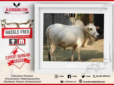 Prime Plus Cow  (Sharing / Hissa or Complete Cow) image